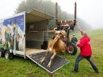 این گاو، شماره یک رسانه های آلمان شده است/ عکس
