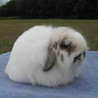خرگوش فازی لوپ آمریکایی (American Fuzzy Lops)