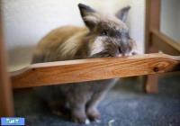 خرگوشتان وسایل خانه را می جود؟ (ترجمه)