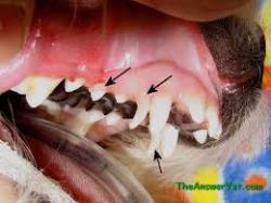 تشخیص سن سگ ها و گربه ها از روی دندان ها