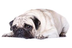 انواع نژاد سگ پا کوتاه