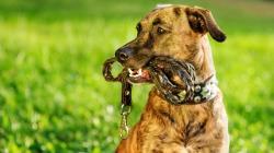 معرفی پنج نژاد برتر سگ نگهبان