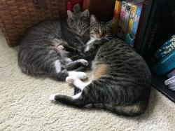 زمان جفت گیری گربه ها