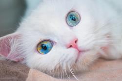 5 نژاد گربه که مانند سگ ها رفتار می کنند!