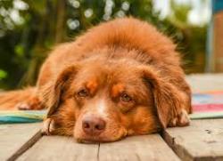 مسمومیت در سگ ها