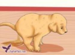 کمپیلوباکتریوز در سگ ها